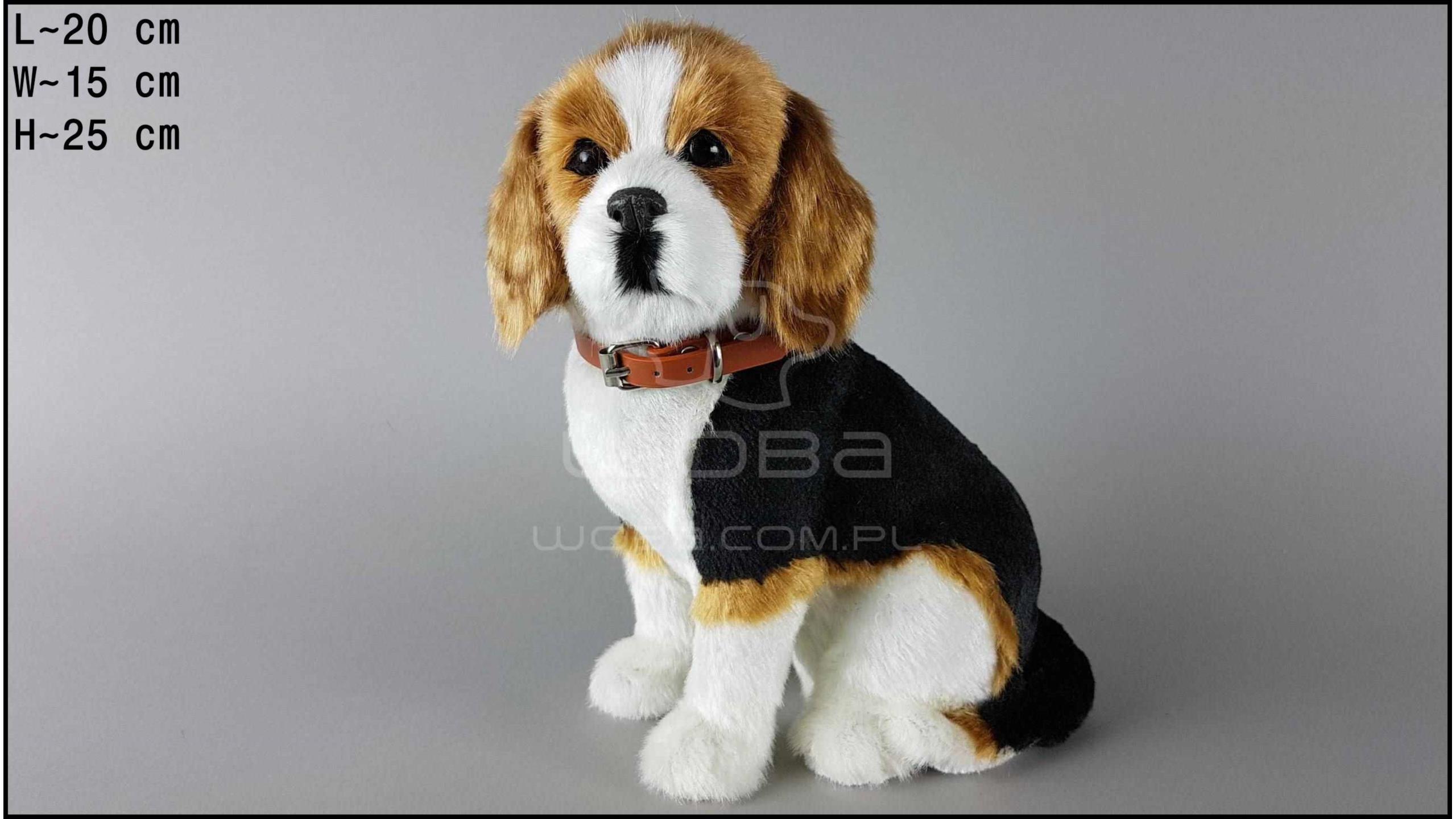 Pies duży - Beagle