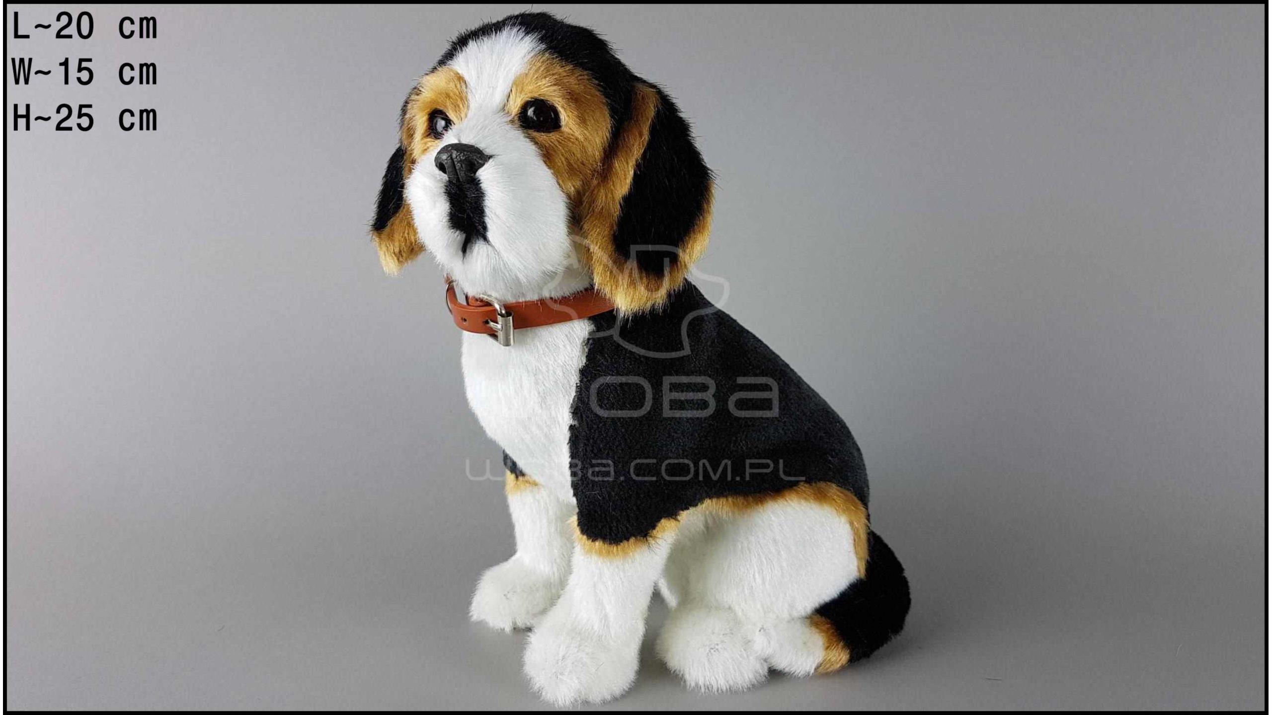 Pies duży - Beagle Czarno-Biały