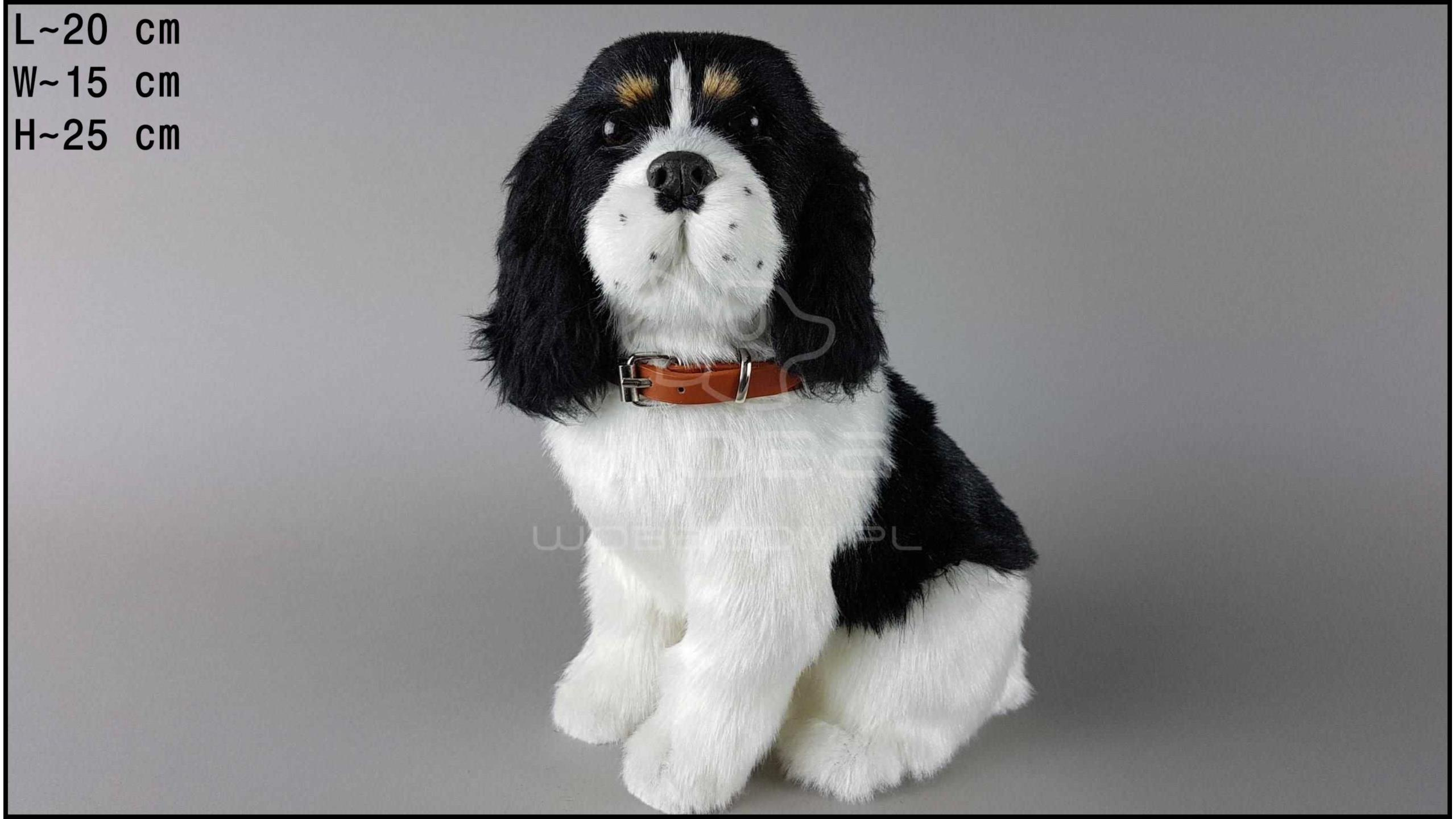 Large dog - Cocker Spaniel - Black & White