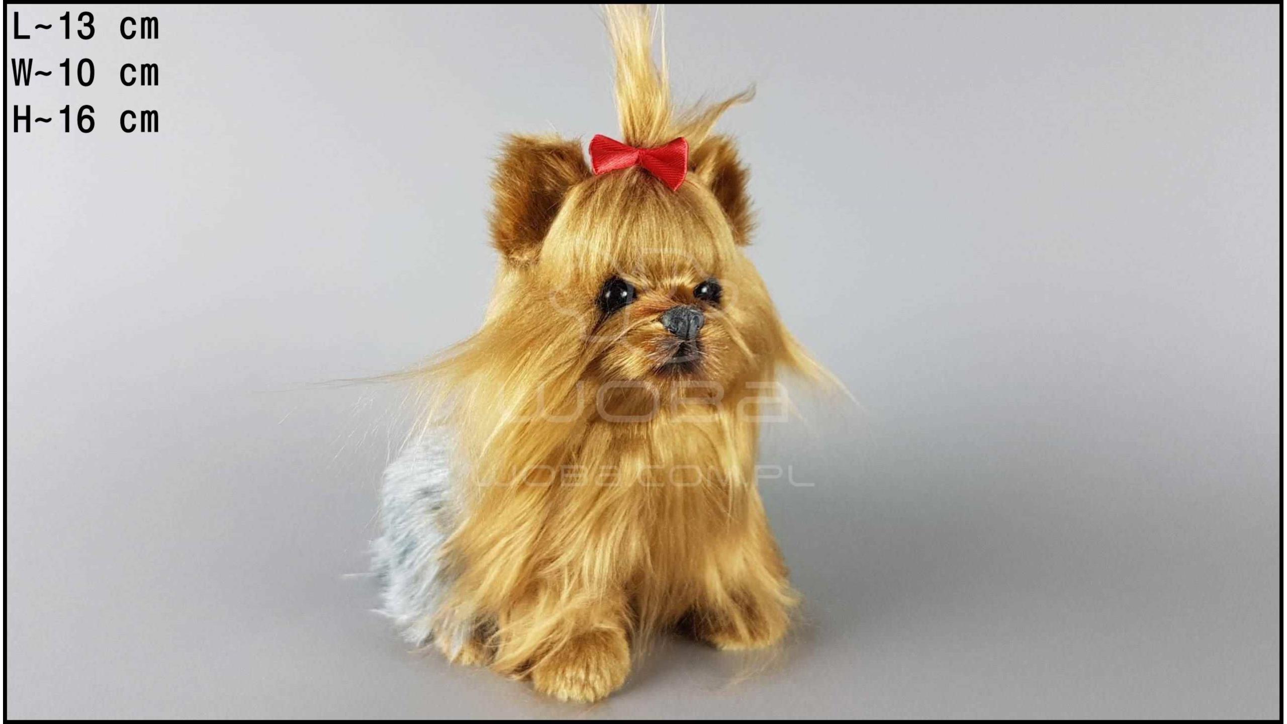 Yorkshire Terrier - Lying