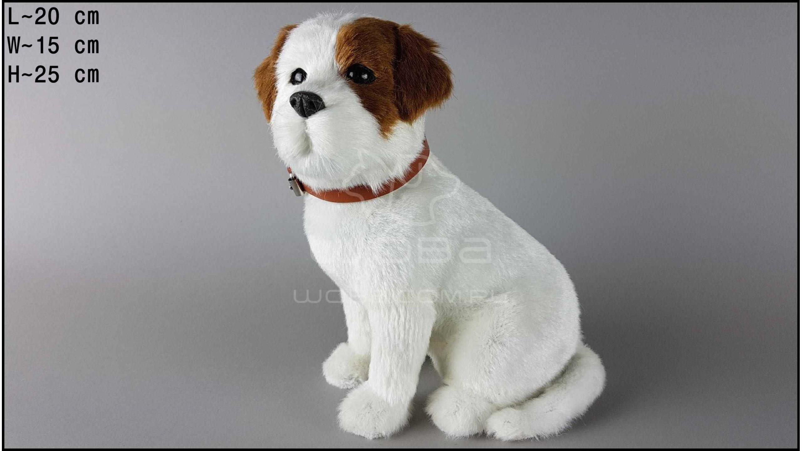 Pies duży - Jack Russell