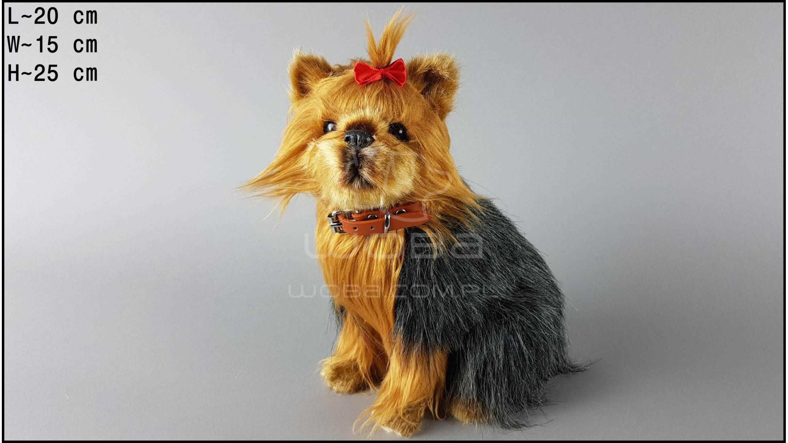 Pies duży - Yorkshire Terrier