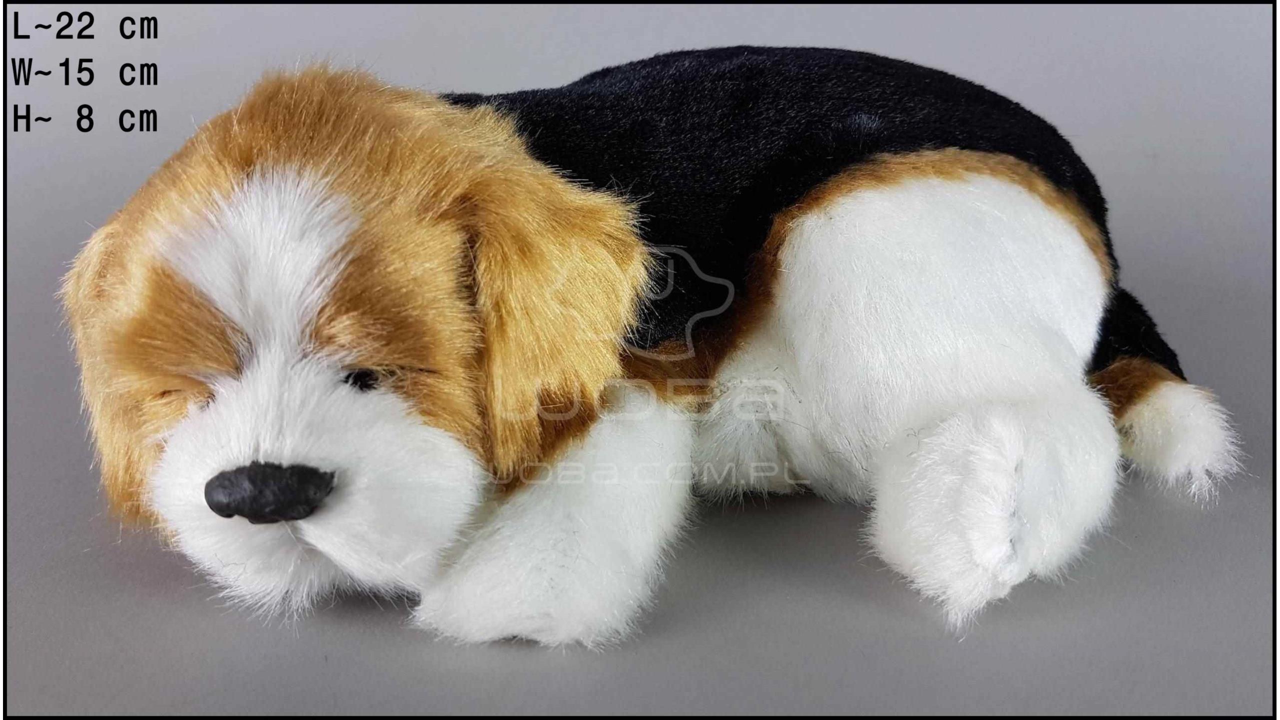 Pies Beagle Rozmiar M