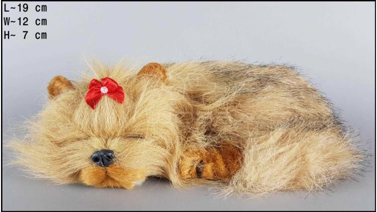 Sleeping Yorkshire Terrier