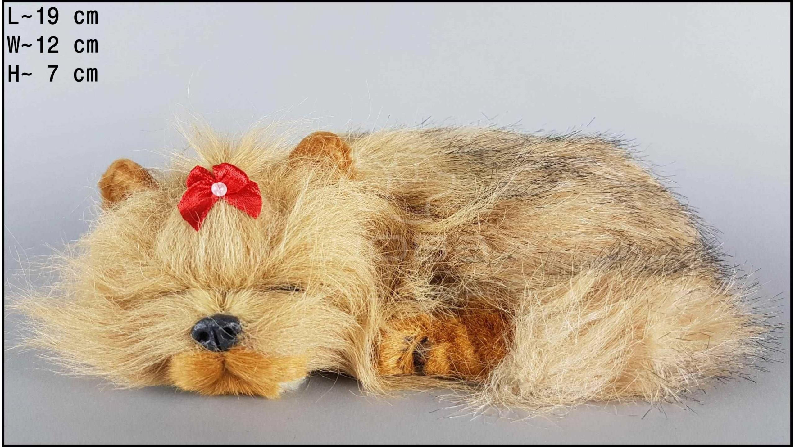 Sleeping Yorkshire Terrier