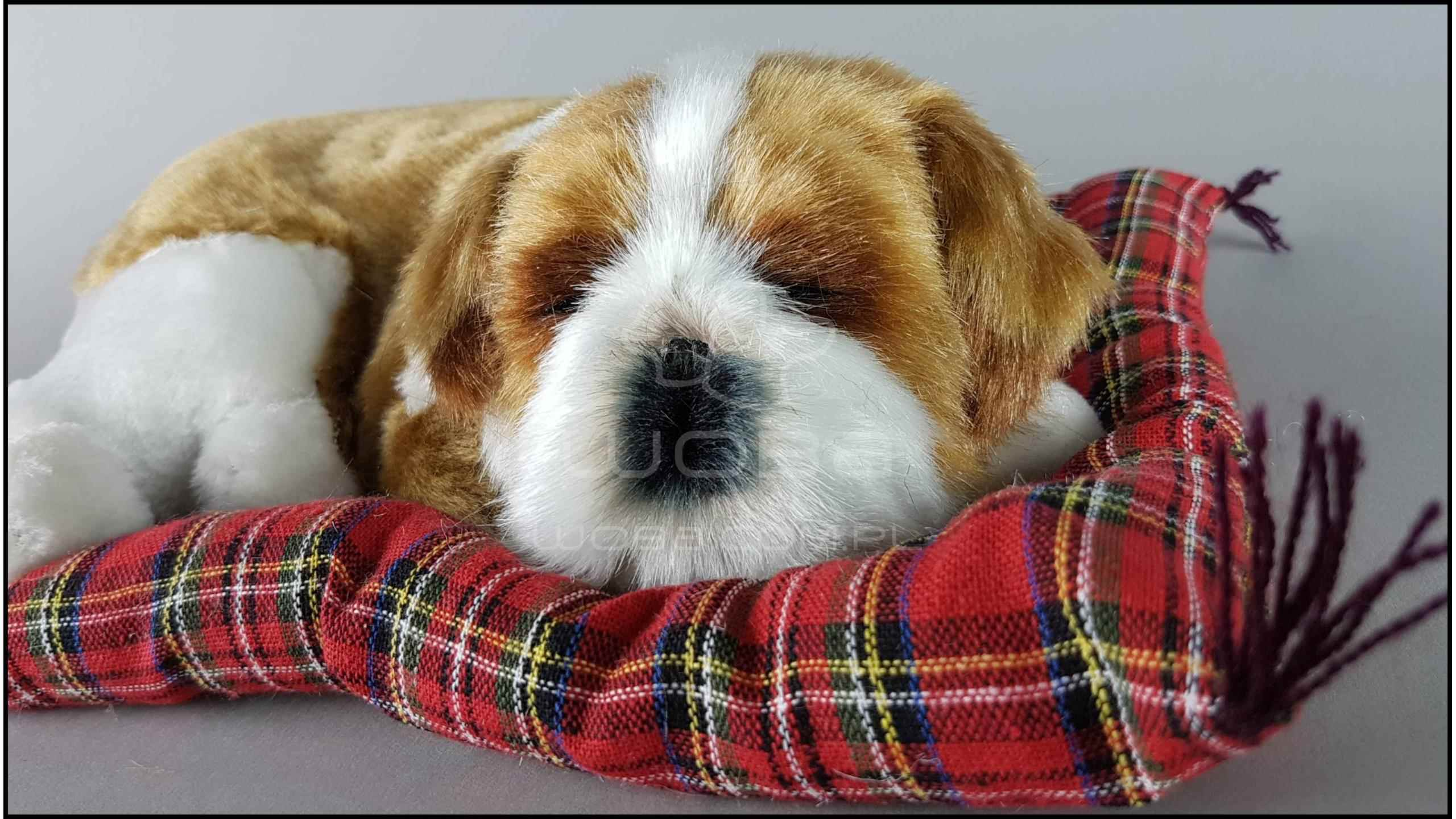 dog cocker spaniel on a pillow